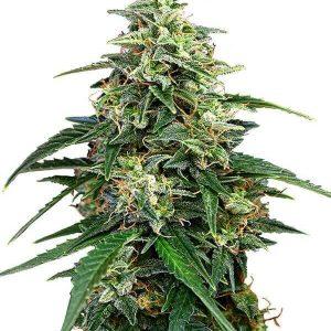 Comprar semillas marihuana Amnesia feminizadas