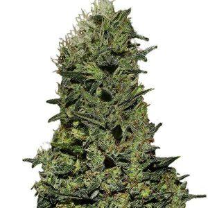 comprar Semillas Marihuana AK Feminizadas gea seeds