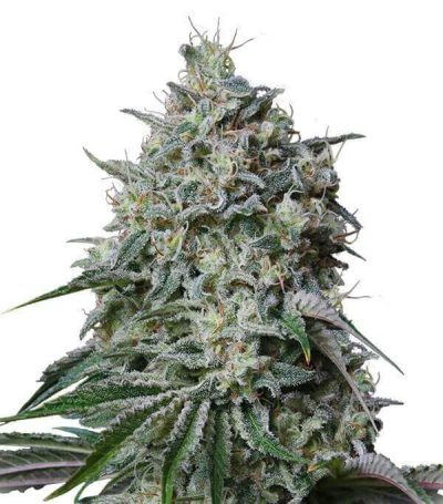 Comprar Semillas Marihuana Cachalote Feminizadas