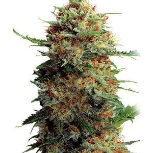 Comprar Semillas Marihuana Jack Orange Feminizadas gea seeds
