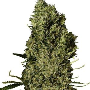 Comprar chronical-gea seeds Baratas en españa
