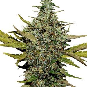 Comprar semillas Marihuana super-skunk-gea seeds Baratas