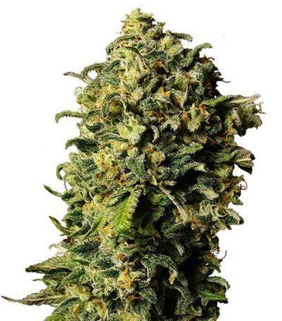 Comprar semillas de marihuana auto-haze-gea seeds en España
