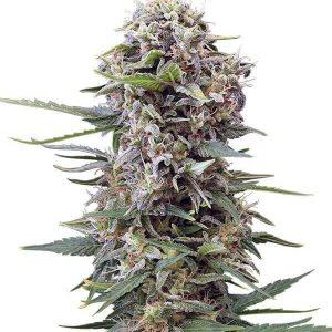 Comprar semillas de marihuana autoflorecientes -cheese-gea seeds Baratas
