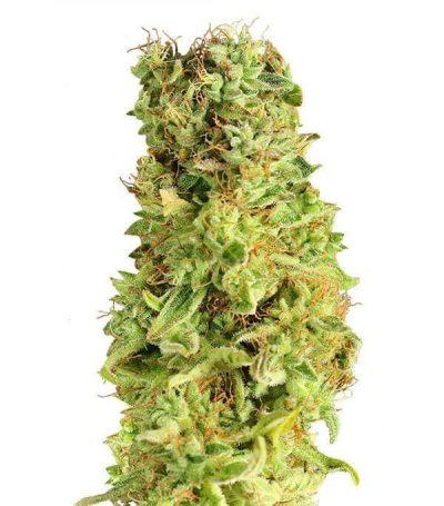 Comprar semillas de marihuana matanus-k-gea seeds en españa
