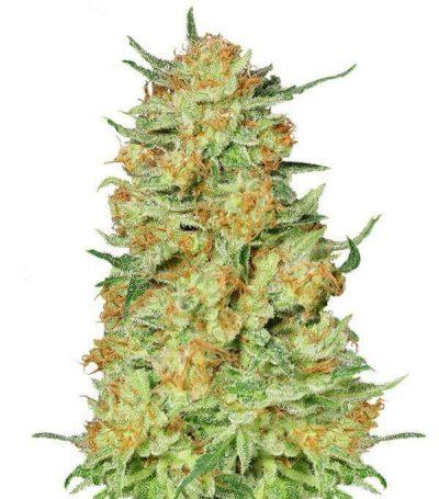 Comprar semillas de marihuana northern-kush-gea seeds Baratas