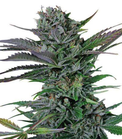 Comprar semillas de marihuana somango-gea seeds en madrid online