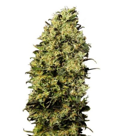 Comprar semillas marihuana m8-gea seeds Baratas