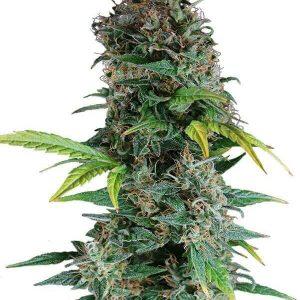 comprar semillas de marihuana auto florecientes -somango-gea seeds en Ofertas