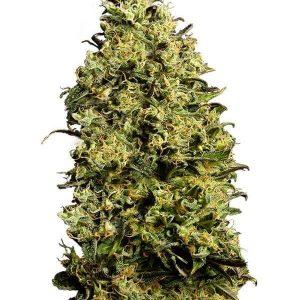 comprar semillas de marihuana autoflorecientes-m8-gea seeds Baratas