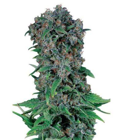 comprar semillas marihuana black-kush-98-gea seeds online