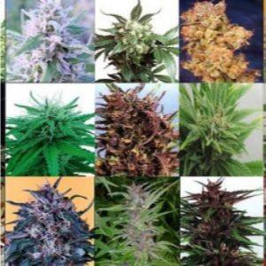 Bancos Semillas de Marihuana Feminizadas